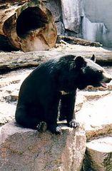 Ein Kragenbär macht es sich gemütlich - Wildtiere, Zootiere, Bär, Bären, Kragenbär
