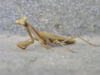 Gottesanbeterin - Gottesanbeterin, Fangschrecke, Insekten, Tracheentiere, Fluginstekt, Fangbeine