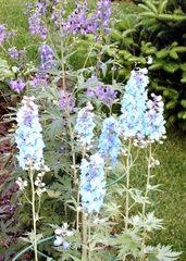 Rittersporn - Garten, Pflanzen, Rittersporn