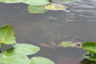 Riesenschildkröte - Schildkröte, Riesenschildkröte, Reptil