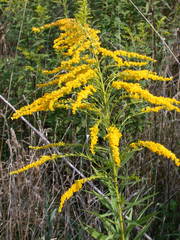 Goldrute - Goldrute, Goldraute, Korbblütler, Solidago virgaurea, Heilpflanze
