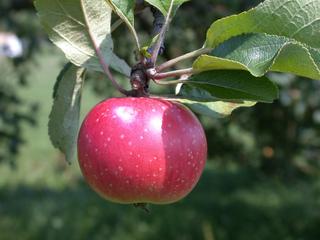 Apfel - Apfel, Äpfel, Kernobstgewächs, Rosengewächs, Obst, Frucht, Herbst
