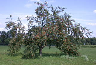 Apfelbaum - Apfel, Äpfel, Kernobstgewächs, Rosengewächs, Obst, Frucht, Herbst, Apfelbaum, Ernte