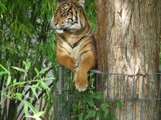 Tiger - Tiger, Raubkatze, Indien, Tarnung, Raubtier, Camouflage