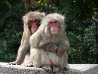 Affenpärchen - Affe, Affen, Zoo, Afrika, Urwald, Pärchen, Affenpärchen
