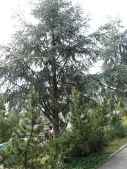 Zeder - Zeder, Baum, Libanon, Bibel, Kieferngewächs