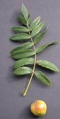 Speierling - Speierling, Wildobstbaum, Sperberbaum, Apfel Sporapfel, Spierapfel, Sorbus domestica, Rosengewächs, Kernobstgewächs, Gerbstoffhaltig, Heilpflanze