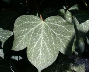 Efeublatt - Efeu, Hedera helix, Kletterpflanze, Blatt, Blätter