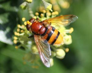 Schwebfliege gebändert - Insekten, Fliege, wespenartig, Syrphidae, Schwebfliege, Fliege, Zweiflügler, Syrphus ribesii, Deckelschlüpfer, Fluginsekt, Insekt, Bestäuber, volucella zonaria
