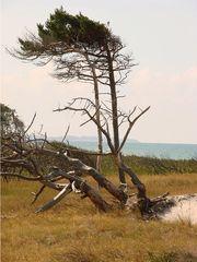 Windflüchter - Windflüchter, Wind, Baum, Kiefer, Wuchs, Wuchsrichtung, schief, gebogen, Wetter, Windwuchs, Küstennähe