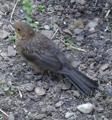 Amsel - Amsel, Vogel, Standvogel