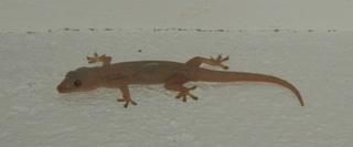 Gecko - Gecko, haften, Echse, Adhäsion