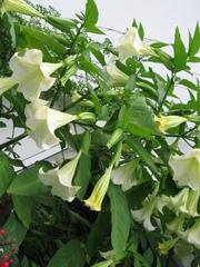 Engelstrompete - Engelstrompete, Datura, Brugmansia, Nachtschattengewächs, giftig, Blüte, Alkaloid, Rauschmittel, Zierpflanze