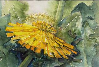 Löwenzahnblüte - Löwenzahn, Löwenzahnblüte, Blüte, Aquarell