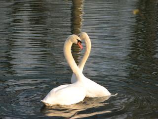 Schwäne - Schwan, Paarungstanz, Paarungsverhalten, Höckerschwan, Liebe, verliebt, balzen, Herz, Wasservogel,