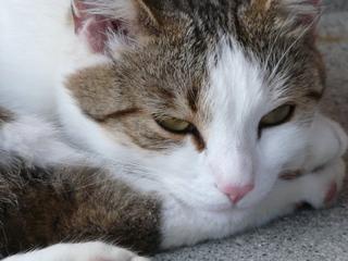 Katzenkopf - Hauskatze, Katze, Haustier