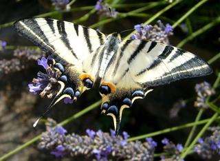 Schwalbenschwanz-Schmetterling - Schmetterling, Lavendel, Sommer, Garten, Schwalbenschwanz