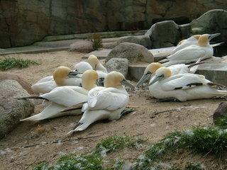 Basstölpel  - Vogel, Vogelgruppe, Meeresvogel, Tölpel, Morus, Ruderfüßer, Stoßtaucher