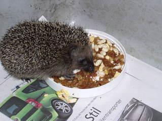 Igel beim Fressen - Igel, fressen, Futter, Mehlwürmer, Obst, abwechslungsreich, Säugetier, Stacheligel, Insektenfresser, überwintern, untergewichtig, Schreibanlass