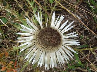 Silberdistel - Pflanze, Alpen, Berg, Bergflora, Silberdistel, Eberwurz, Korbblütler, mehrjährig, Tiefwurzler, Distel
