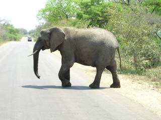 Elefant - Säugetier, Südafrika, Afrika, Elefant, Nationalpark, Elfenbein, Schreibanlass