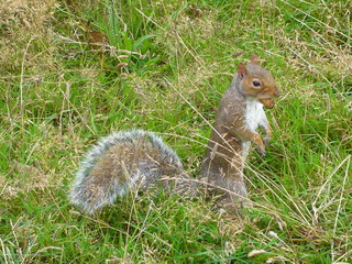 Eichhörnchen - Eichhörnchen, Nagetier, Eichkätzchen, Eichkater, Katteker, Baumbewohner