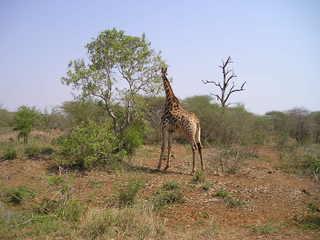 Giraffe - Säuegtier, Südafrika, Afrika, Giraffe, groß, Zoo, Tarnung, Camouflage