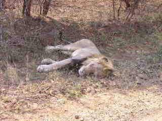 Löwe - Säugetier, Löwe, Afrika, Nationalpark, gefährlich, Fleischfresser, schlafen