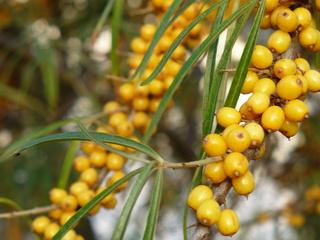 Sanddorn - Kiwi des Nordens - Sanddorn, Vitamin-C-Spender, Beere, Stein-Scheinfrucht, Öl, 'Fettsäuren, Carotine
