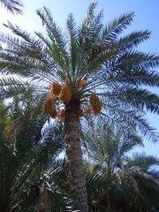 Dattelpalme mit Früchten - Oman, Plantage, Dattelpalmen, Datteln