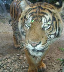 Tiger im  Zoo - Tiger, Zoo, Tier, Wildtier, Katze, Raubkatze, Großkatze, Camouflage