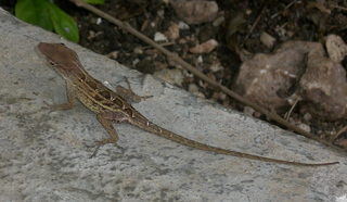 Gecko - Gecko, haften, Echse, Adhäsion, Schuppenkriechtier, Reptil, Echse