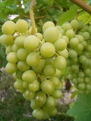 Weintraube - Weintraube, Weinbeeren, Wein, Weinlese, Landwirtschaft, Weinbau, Trauben, Herbst