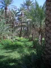Leben in der Oase - Oman, Arabische Halbinsel, Oase, Bewässerung, Dattelpalmen, Ziege