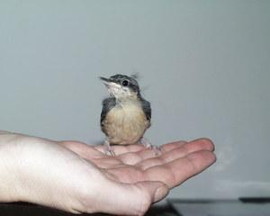 Junger Kleiber - Vögel, Kleiber, Singvogel, Standvogel