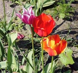 Tulpen - Blume, Tulpe, Tulipa, Liliengewächs, Zwiebelblume, Schnittblume, Blüte, Frühblüher