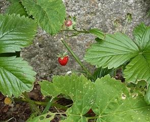 Walderdbeere, Monatserdbeere - Walderdbeere, Monatserdbeere, krautig, mehrjährig, Heilpflanze