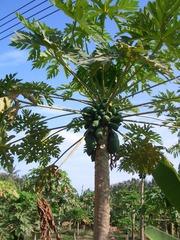 Papajastaude mit Früchten - Papaja, Carica papaya, Melonenbaumgewächse, gefiederte Blätter, Früchte, Obst