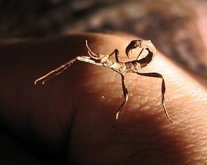 australische Gespenstschrecke - Extatosoma tiaratum #2 - Gespenstschrecke, Insekt, Mimikri, Terrarium