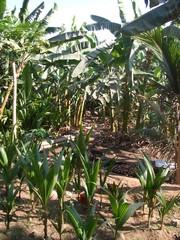 Anzucht von Kokospalmen #3 - Kokospalme, Cocus nucifera, Palmengewächse, Schopfbaum, Kokusnuss, Steinfrucht, Kokuswasser, Kopra, Plantage, Baumschule, Anzucht
