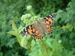 Entwicklung des Distelfalters #10 (Falter im Freien) - Distelfalter, Falter, Schmetterling