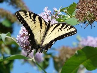 Schmetterling - Schmetterling, Schwalbenschwanz, Insekt