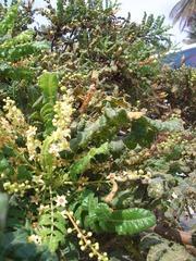 Weihrauchbaum Blüte #3 - Weihrauchbaum, Boswellia sp, Balsamgewächse, Blüten, Gummiharz, ätherisches Öl, Aroma, Parfümherstellung, Religion, Ritual, Provinz Dhofar, Oman, arabische Halbinsel