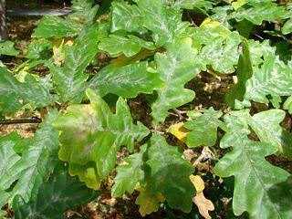 Eichenlaub - Eiche, Laubbaum, Blatt, gebuchtet, Blattrand, glatt