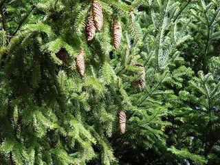 Fichte - Fichte, Gemeine Fichte, Kieferngewächs, Nadelbaum, immergrün, Zapfen, länglich, Nadeln, Zweig