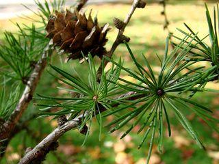 Lärche - Lärche, Nadelbaum, Kieferngewächs, Pinaceae, Nadel, Büschel, Zapfen, rundlich