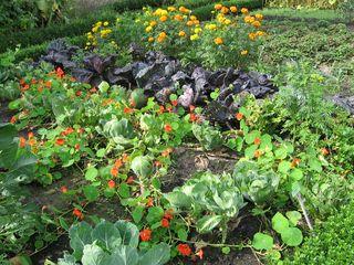 Bauerngarten #2 - Bauerngarten, Garten, Gartenbau, Gemüse, Kräuter, Blumen, Buchs, Hecke, Acker, Ackerbau, Bauernhof, Mischkultur, Kapuzinerkresse, Kohl, Tagetes, Erdbeeren, Nutzpflanzen