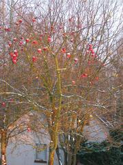 rote Äpfel im November - Äpfel, rot, kahl, Zweig, Schneehäubchen, Frost, Kälte, Winter, Schreibanlass