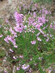 Erika - Heidekraut, Erika, Pflanzen, Blumen, Erica, Blüte