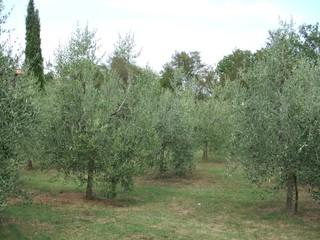 Olivenbäume - Oliven, Olivenbaum, Ölbaum, Italien, Toskana, Olivenplantage, Baum, Plantage, Hain